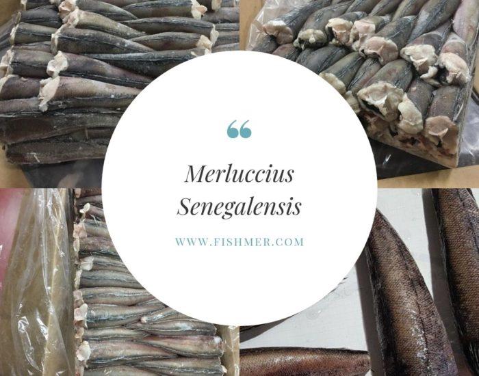 Mayorista Merluccius Senegalensis